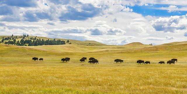 bison and plains.jpg
