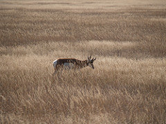 tim ellis pronghorn
