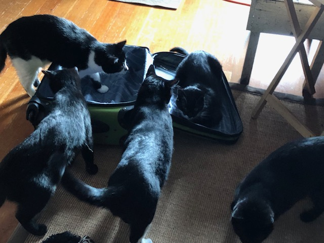 cats in suitcase.jpg